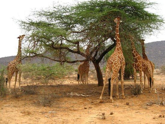 Foto De Elephant Bedroom Camp Samburu National Reserve Jirafa Reticulada Tripadvisor