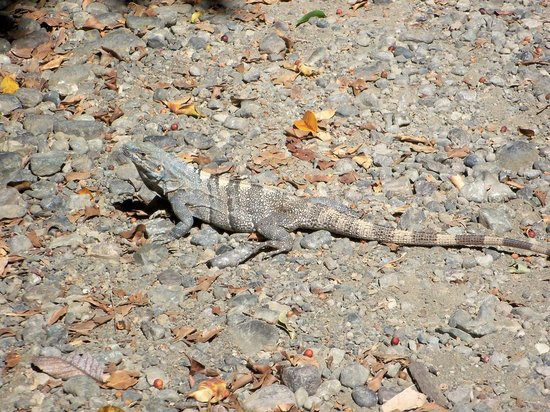 Jungle Beach Hotel at Manuel Antonio: Lizard seen in Jungle Beach parking lot