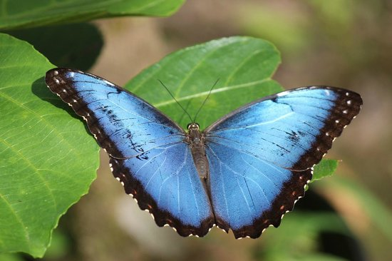 Allegro Papagayo: Beautiful Blue Morpho butterfly.