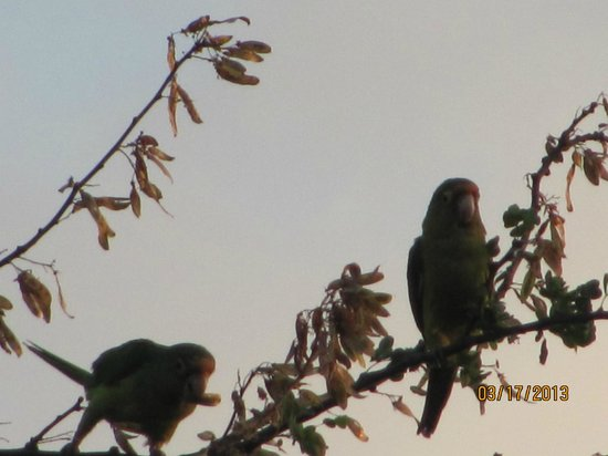 Condovac la Costa: Partying Parrots at sunset each evening on 500 block
