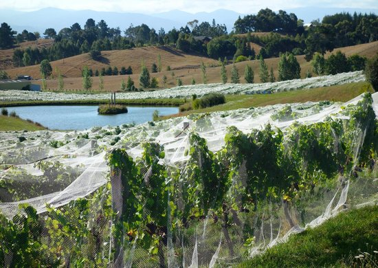 Bay Tours Nelson: Vineyard with netted vines