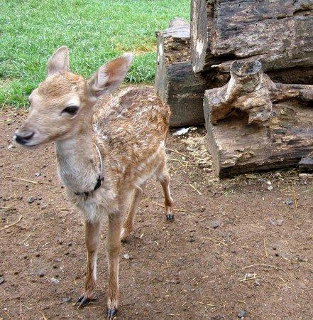North Georgia Zoo: Deer
