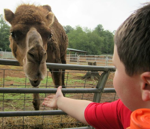 North Georgia Zoo: Reese feeding the Camel