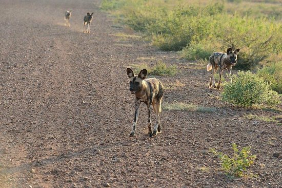 Royal Madikwe Luxury Safari Lodge: Wild dogs