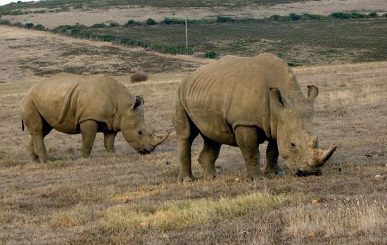 Garden Route Game Lodge: Rhinos