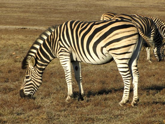 Garden Route Game Lodge: Zebras