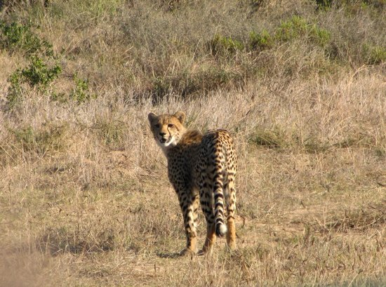 Garden Route Game Lodge: Cheetah