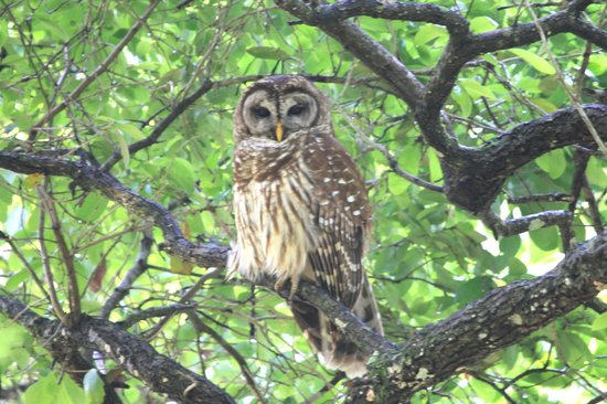 Lake Lotus Nature Park : home of the Barred owl