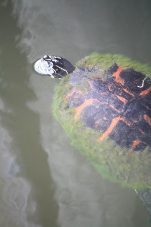 Lake Lotus Nature Park: a turtle near the fishing pier