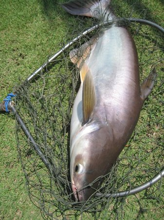 Hua Hin Fishing Lodge : striped catfish