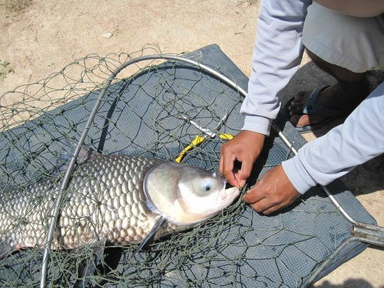 Hua Hin Fishing Lodge: catla carp
