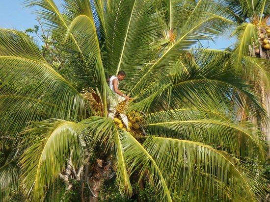 Isla Palenque : Gathering coconuts