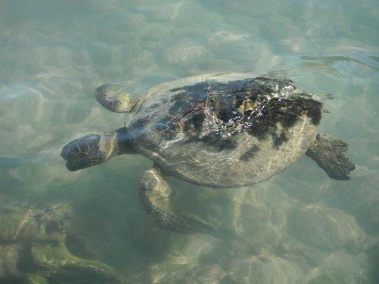 The Hula Breeze: Sea turtles just a walk away