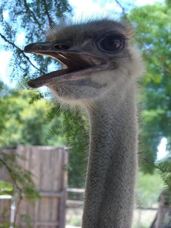 De Zeekoe Guest Farm : ostrich