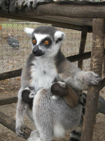 Giraffe Ranch: Lemur feeding