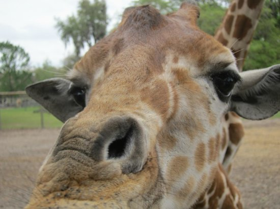 Giraffe Ranch: Giraffe up close while feeding