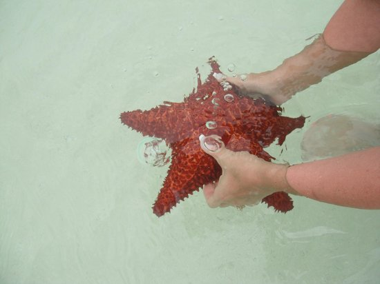 Beaches Turks and Caicos Resort Villages and Spa: Large starfish