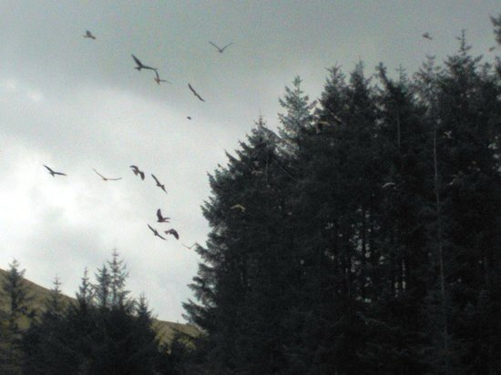 Bwlch Nant yr Arian Forest Visitor Centre: Red Kites gathering before feeding