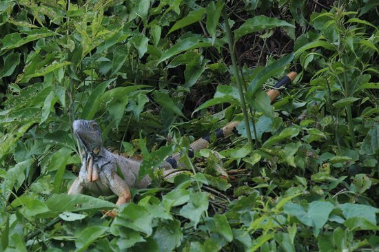 Black Orchid Resort: Iguana seen while canoeing on the river