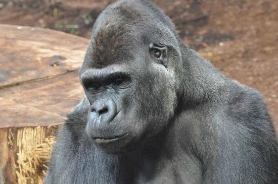 Warszawskie Zoo : Gorilla