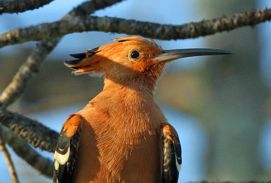 Londolozi Private Game Reserve: African hoopoe