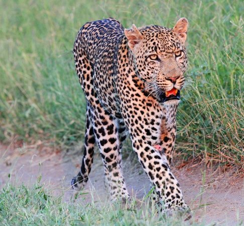 Londolozi Private Game Reserve: The Marthly male leopard