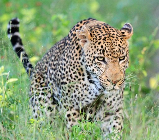 Londolozi Private Game Reserve: Marthly male leopard