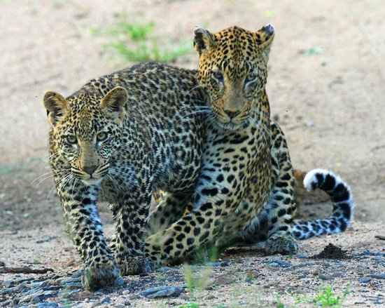 Londolozi Private Game Reserve: Vomba female leopard and cub