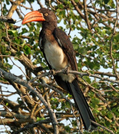 Londolozi Private Game Reserve: Crowned hornbill