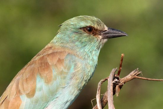 Londolozi Private Game Reserve: European roller