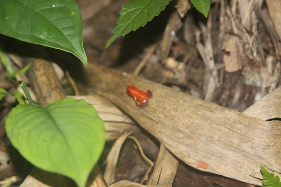 La Loma Jungle Lodge and Chocolate Farm: The famous little frogs