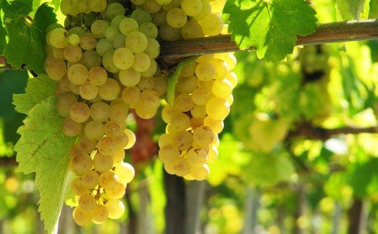 Szedmak Cellar and Wine House: Hárslevelű grape from Sajgó Vineyard, Bodrogkeresztúr