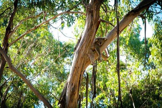 Phillip Island Nature Parks - Koala Conservation Centre: chill