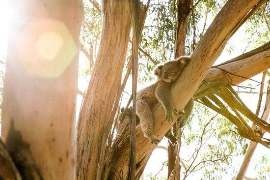 Phillip Island Nature Parks - Koala Conservation Centre: soaking up the sun