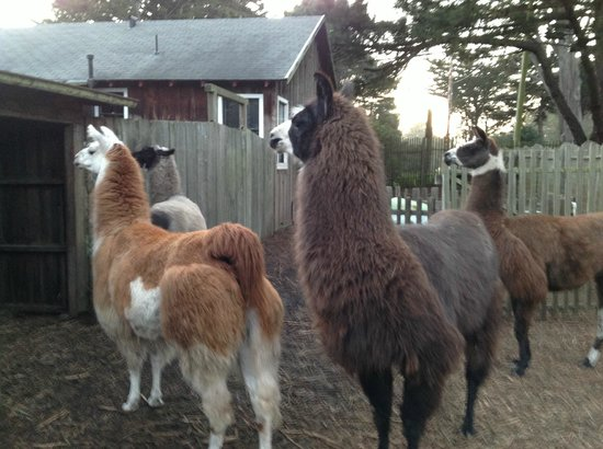 Glendeven Inn Mendocino : The llamas are SO much fun!