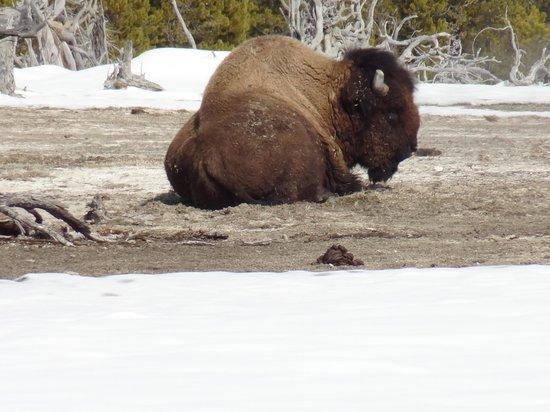 Old Faithful Snowmobile Tours - Day Tours: Buffalo taking a spa break