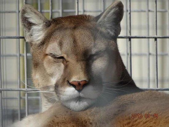 Turpentine Creek Wildlife Refuge: bobcat