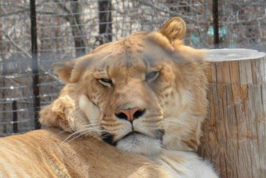 Turpentine Creek Wildlife Refuge: liger