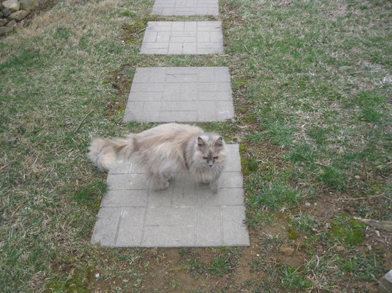 Piney Hill Bed & Breakfast: Prissy the longhair resident outdoor cat.  There are 4 total cats that call Piney Hill home.