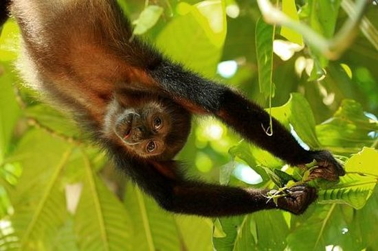 Casa Bambu Resort: Spider monkey by Alex Thomson