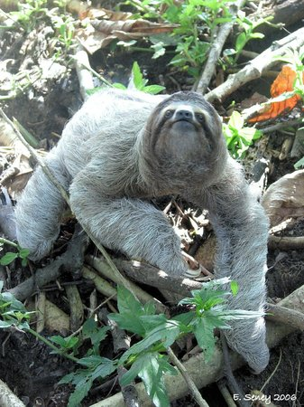 Casa Bambu Resort: Sloth in yard by guest Bryan Smouther