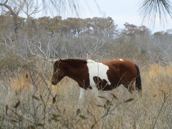 Assateague Island National Seashore: One of many horses seen this day.