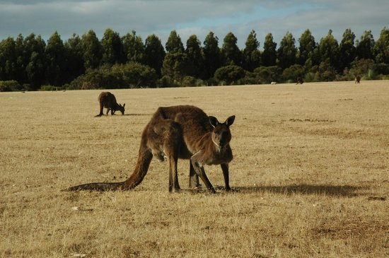 Hanson Bay Wildlife Sanctuary: Kangaroo grazing at  Hanson Bay