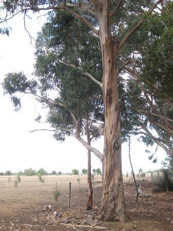 Hanson Bay Wildlife Sanctuary : Koala climbing tree at Hanson Bay