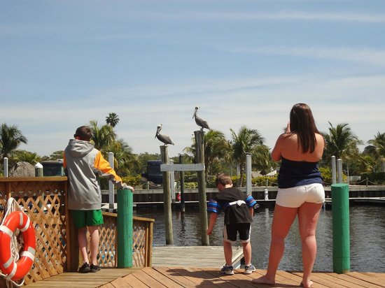 Everglades City Airboat Tours: waiting for boat and watching pelicans