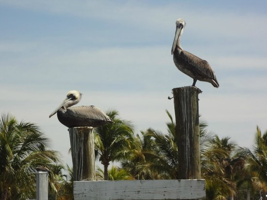 ‪‪Everglades City Airboat Tours‬: pelicans‬