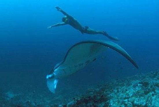 Dive The World Maldives: This could be you diving with a manta ray in the Maldives