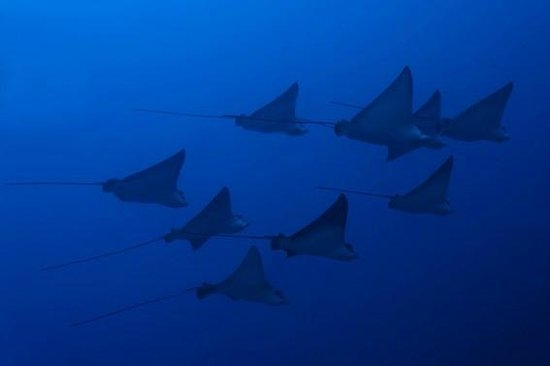 Dive The World Maldives: Eagle Rays