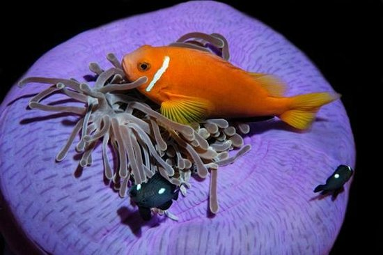 Dive The World Maldives: Anemonefish - diving the Maldives