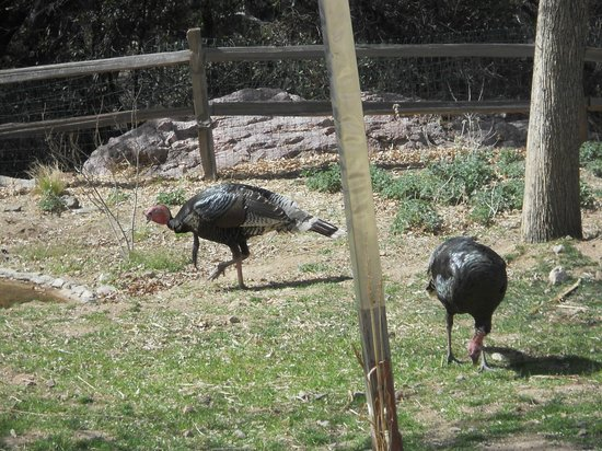 Madera Kubo B&B: Wild turkeys feeding.